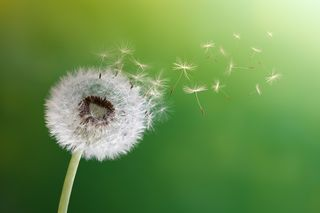Bigstock-Dandelion-seeds-in-the-morning-45648616